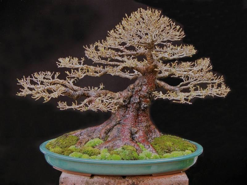 Nerifolia in new pot Nerifo12