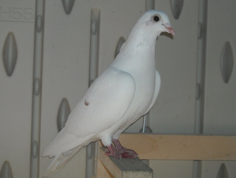 Greasy bird Clara11
