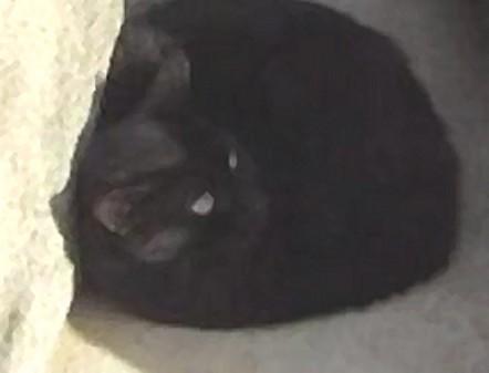 Chats et chatons, fourrière de Niort 79 Noir1010