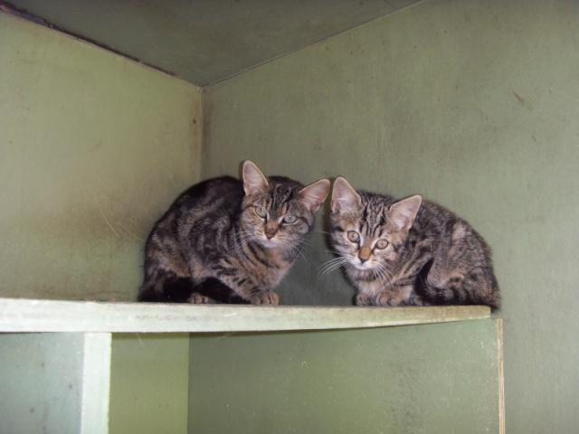 Chats et chatons, fourrière de Niort 79 Sdc10611