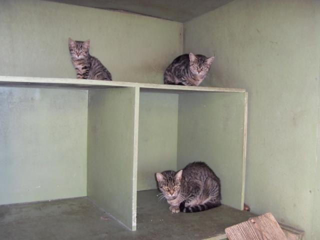 Chats et chatons, fourrière de Niort 79 Sdc10612