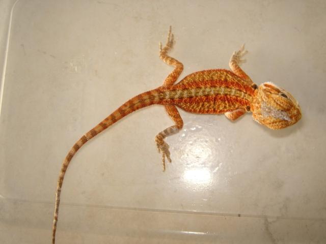 Naissances pogonas redflame sandfire x giant orange hypo 110