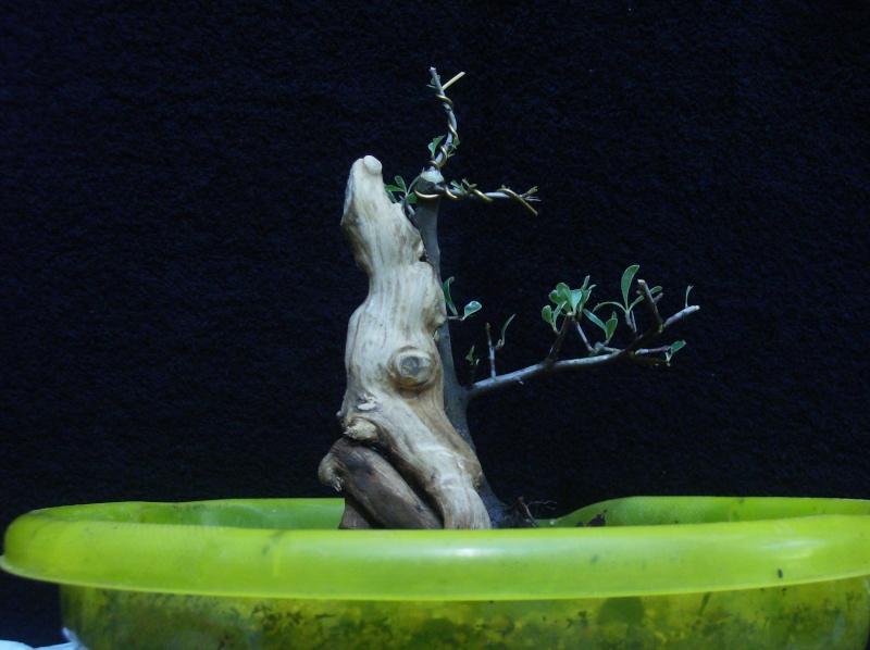 Pyracantha Phoenix Graft Hpim0810