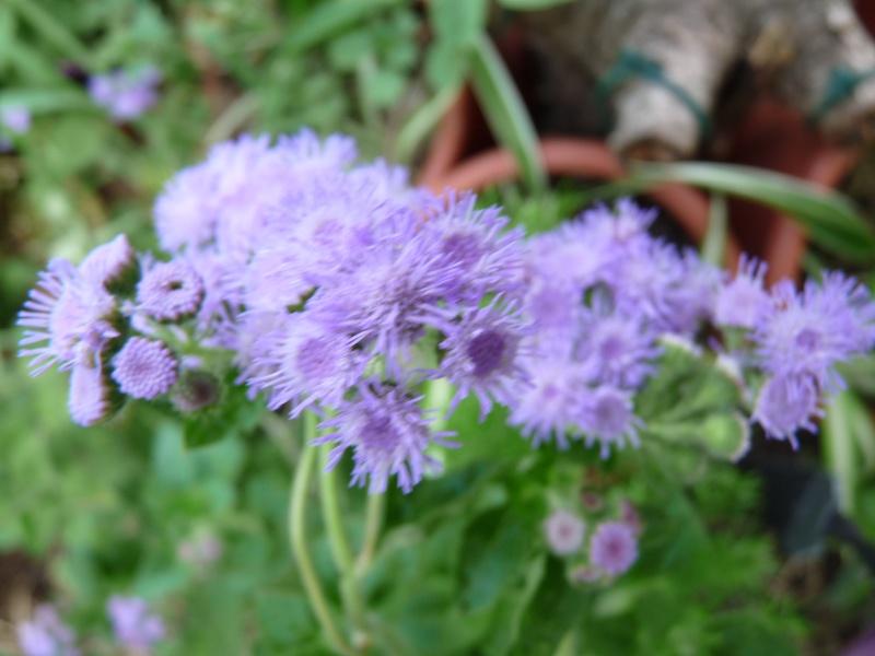 Les fleurs bleues 03813