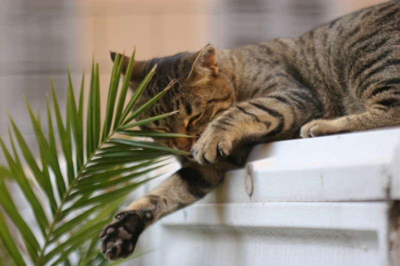adoptée  Thelma chatte tigrée et sa chatonne 04/06 Thelma17