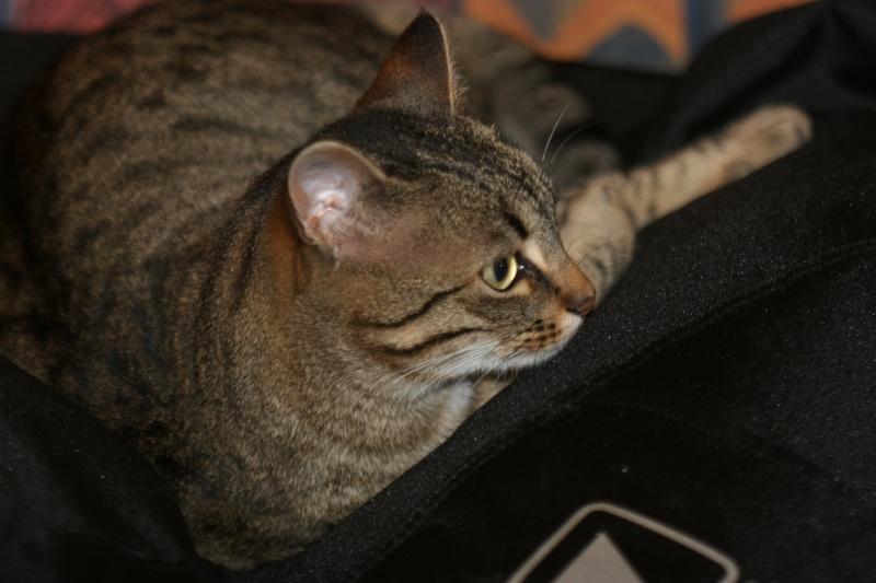adoptée  Thelma chatte tigrée et sa chatonne 04/06 Thelma18