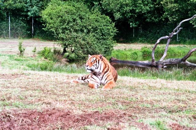 """drole de """"chat"""" Tigre10"""