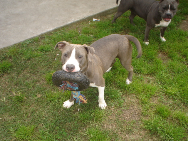 Masterpiece X Suga, 9 month old female available 03210