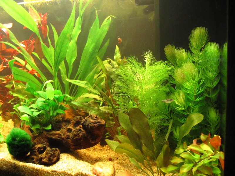 Quelques photos de mon aquarium Img_0612