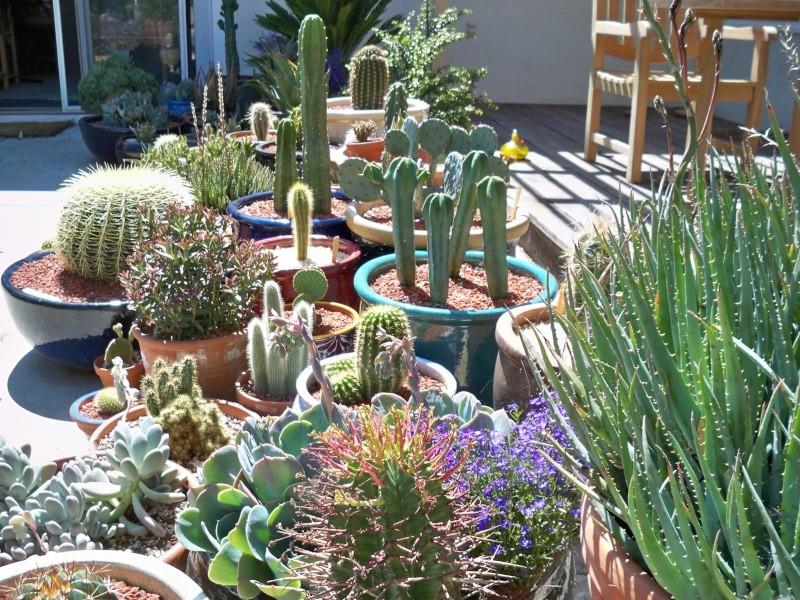 Echinocactus Grusonii 100_0120