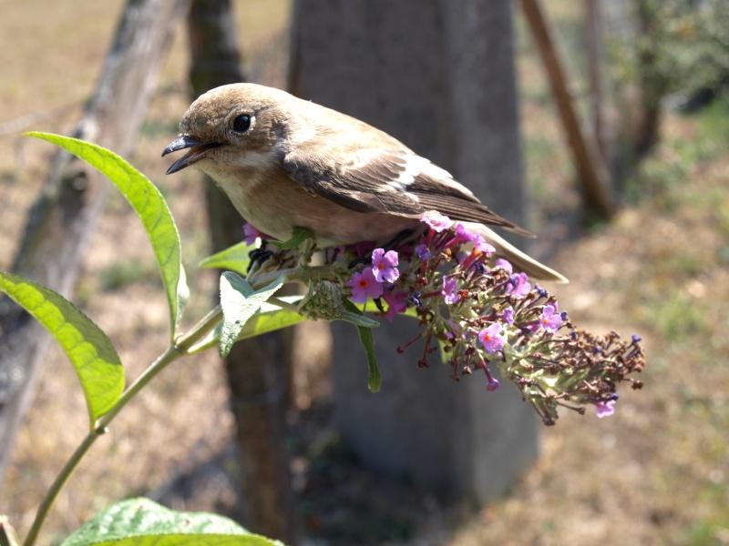 IL A BIEN FAILLI Y LAISSER DES PLUMES ! Oiseau10