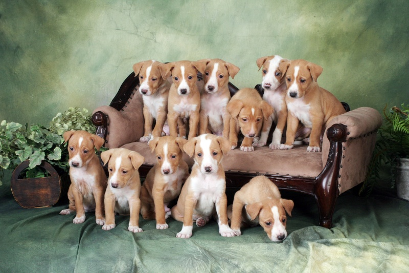 Podengo Grande Puppies for Sale Img_1112