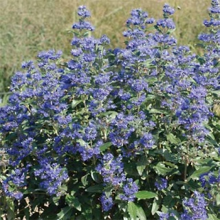 """Caryopteris """" grand bleu """" Caryop11"""