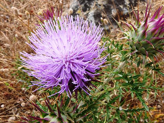 Cynara algarbiensis - cynara de l'Algarve 96326310