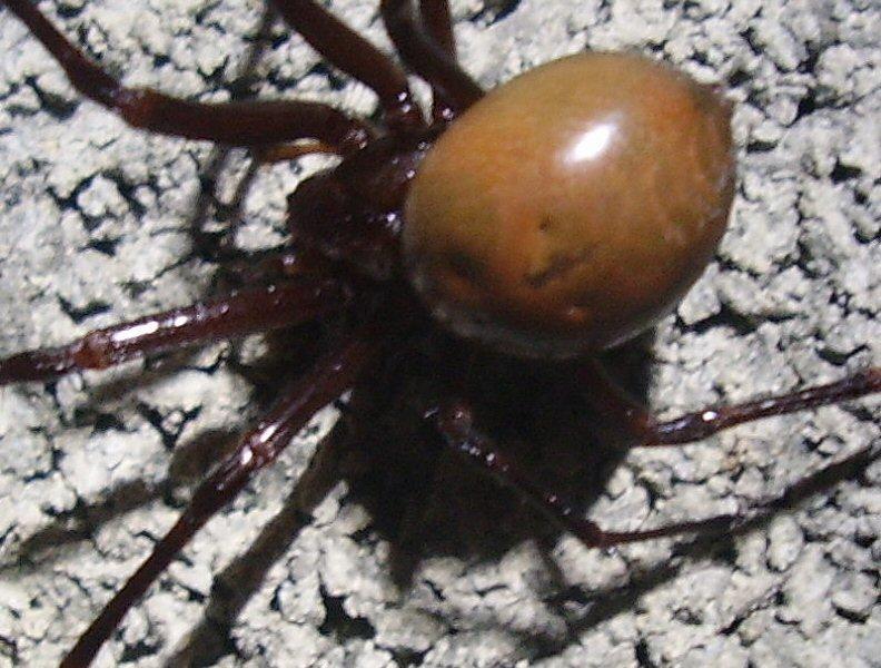 identifier une araignée Ara10