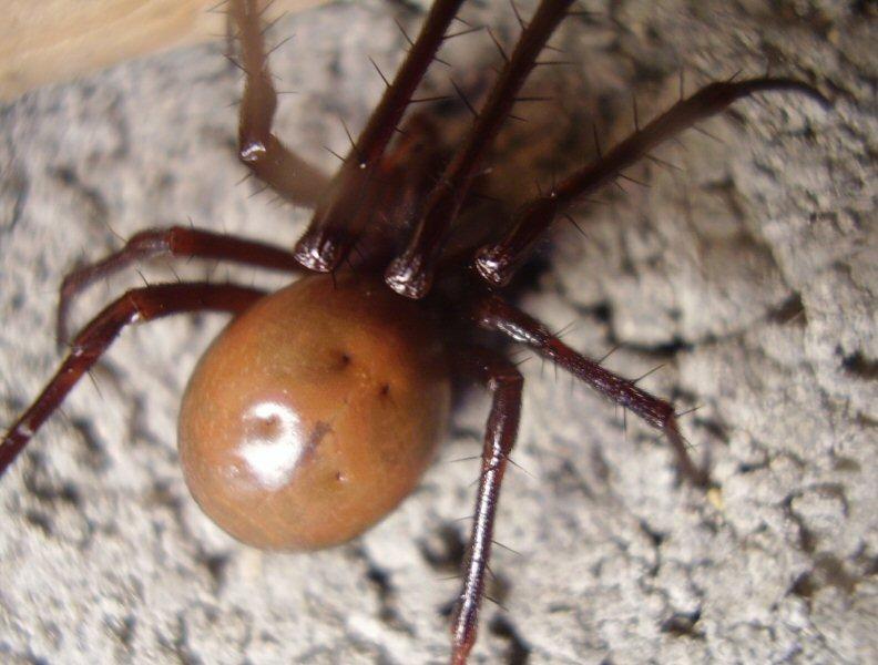 identifier une araignée Ara213
