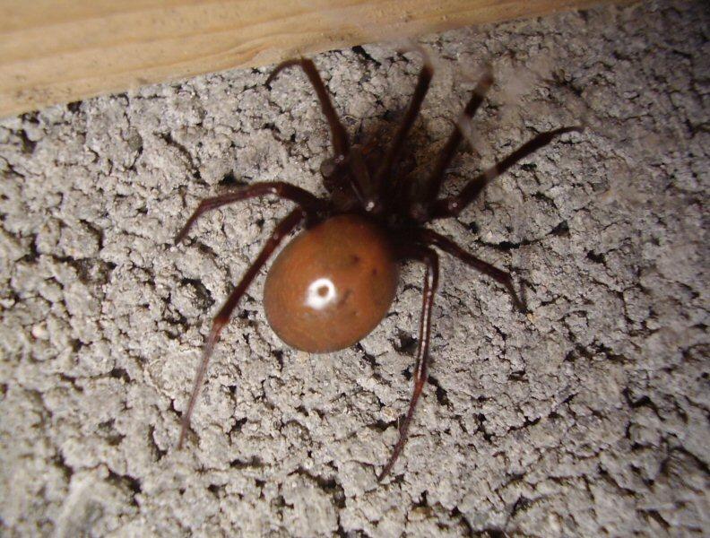 identifier une araignée Ara311