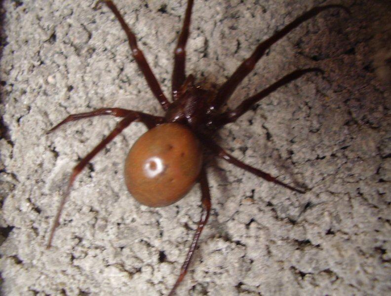 identifier une araignée Ara411