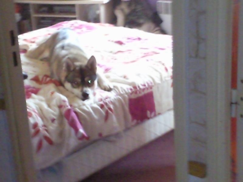 HASSIOR du val de la durdent sibérian husky 24/02/2012 PAR:76DECEDE Photo110