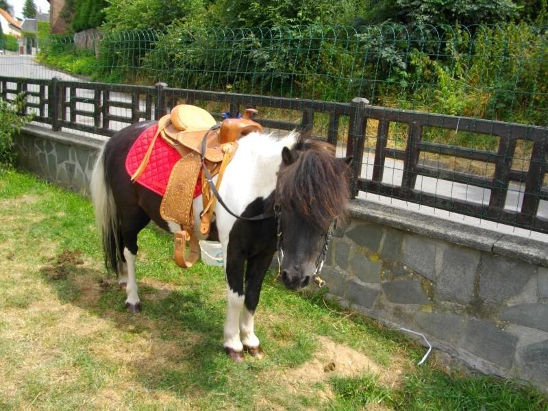 petit lutin poney hongre de 12 ans (80) Petit_11