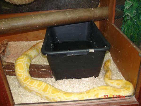 Python molurus, python reticulatus, boa constrictors et 2 chiens fous Dsc09610