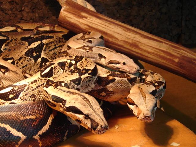 Python molurus, python reticulatus, boa constrictors et 2 chiens fous Gxamhu10