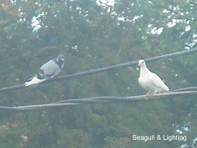 Seagull flew the loft Seagul15