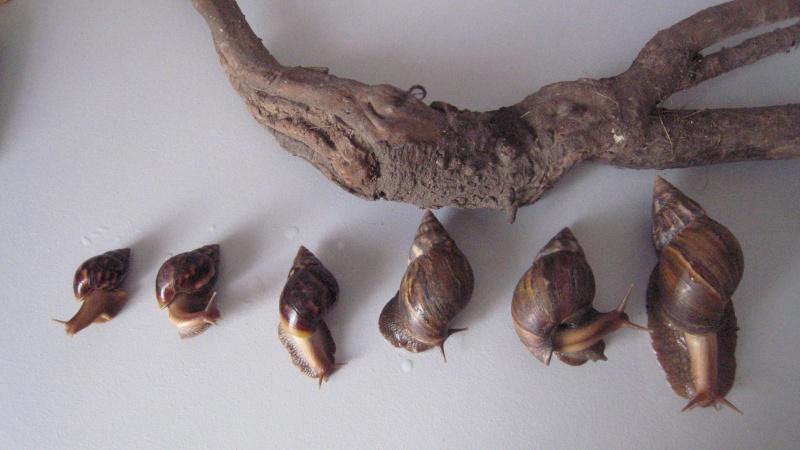 [fiche d'élevage] Achatina fulica Img_1610