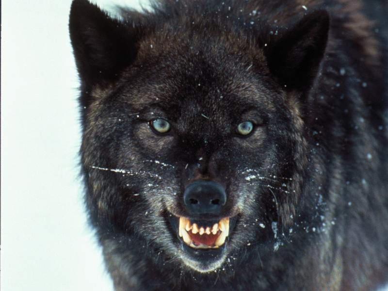 Asha alone Wolves11