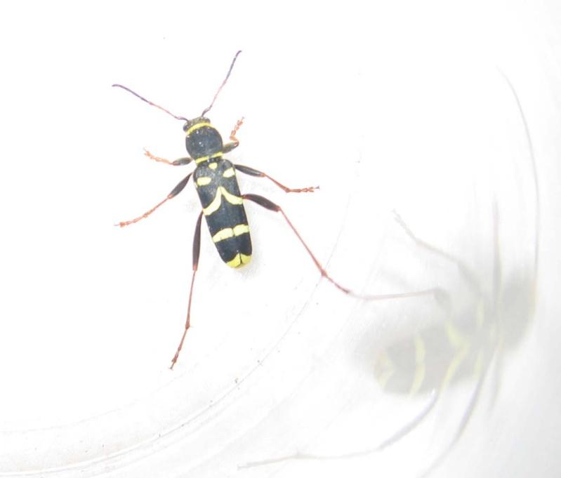 insecte noir et jaune sans aile Img_8112
