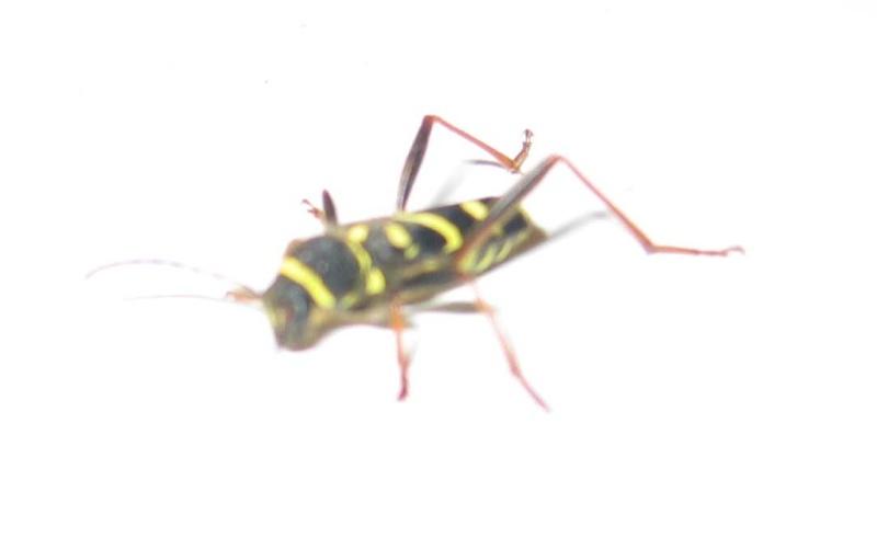 insecte noir et jaune sans aile Img_8113