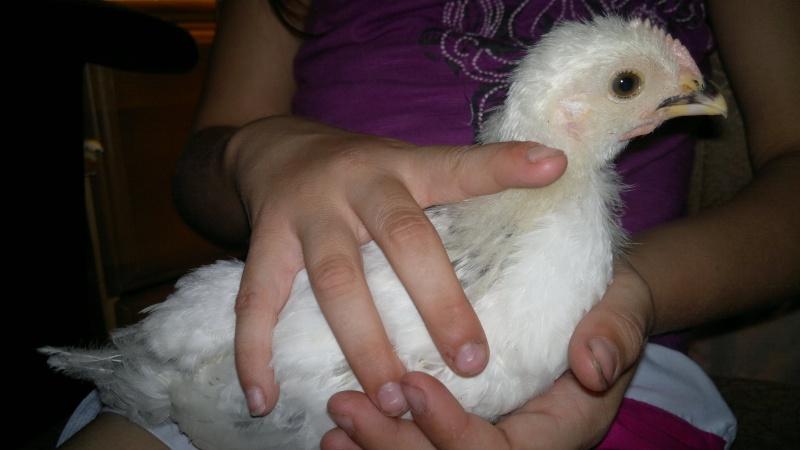Poule ou Coq qui peut m'aider! 12_jui10