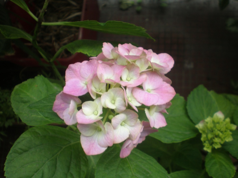 hortensia - Page 5 P6240011
