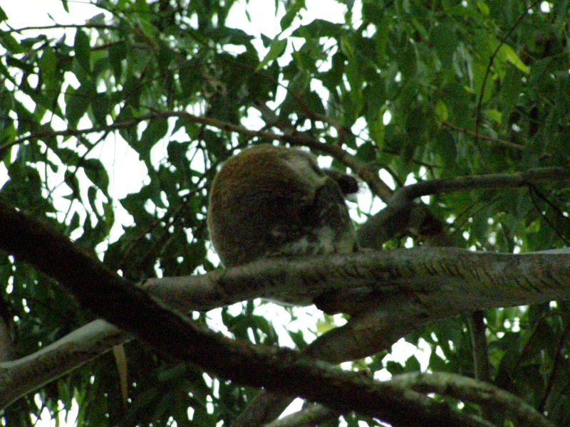 Monsieur Koala  P1010212