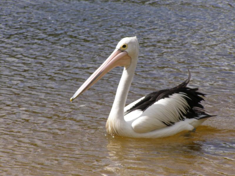 Monsieur Pelican  P1010214