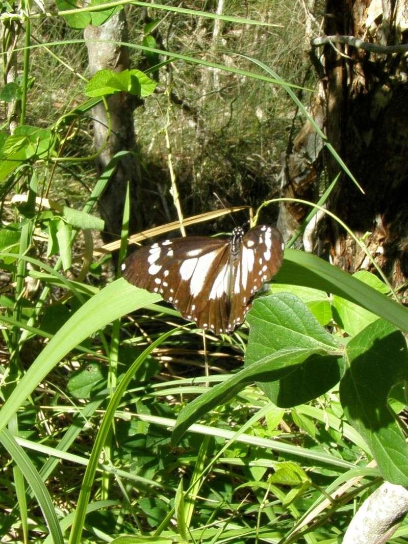 Danaus Affinus Affinus  P1010412