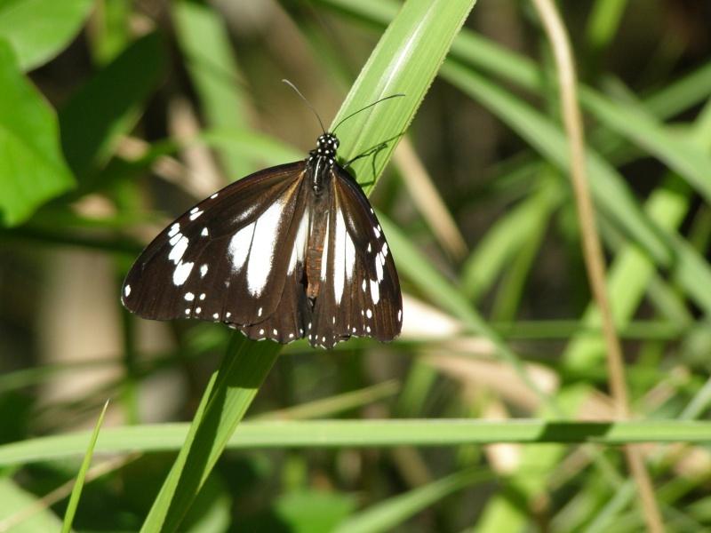 Danaus Affinus Affinus  P1010413