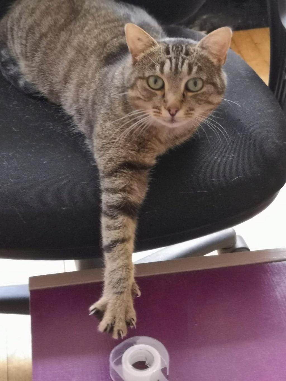 Nevis chatte européenne tigrée née le 1/11/2017 53518710