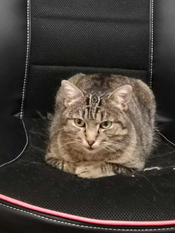 Nevis chatte européenne tigrée née le 1/11/2017 54458010