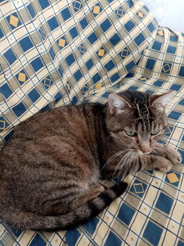 Nevis chatte européenne tigrée née le 1/11/2017 56764410