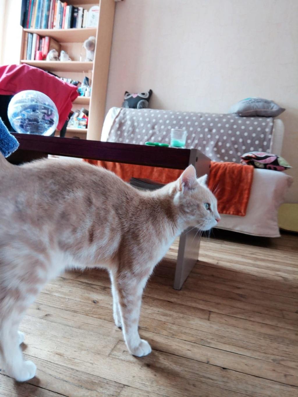 Houfie, chatte roux/crème née le 15 05 2012 65018010