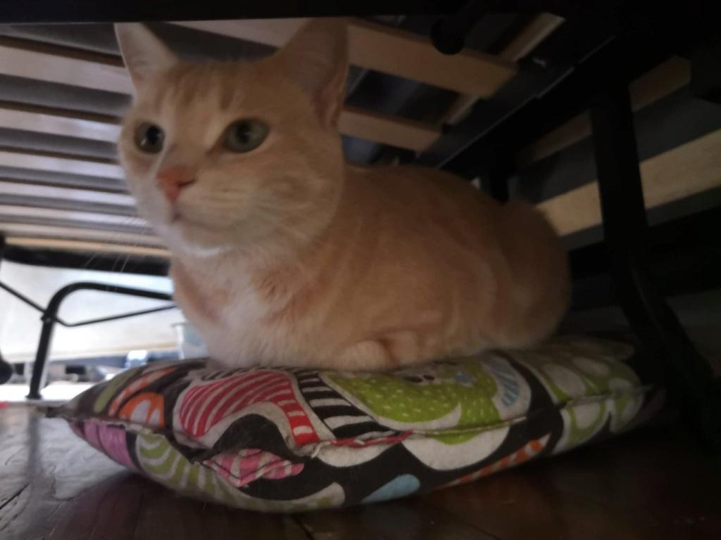 Houfie, chatte roux/crème née le 15 05 2012 65426610