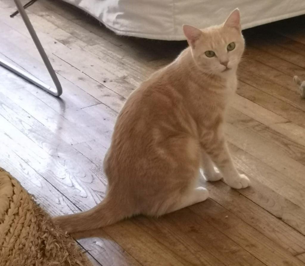 Houfie, chatte roux/crème née le 15 05 2012 66430910
