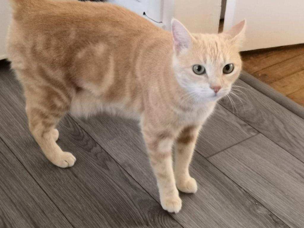 Houfie, chatte roux/crème née le 15 05 2012 66798310