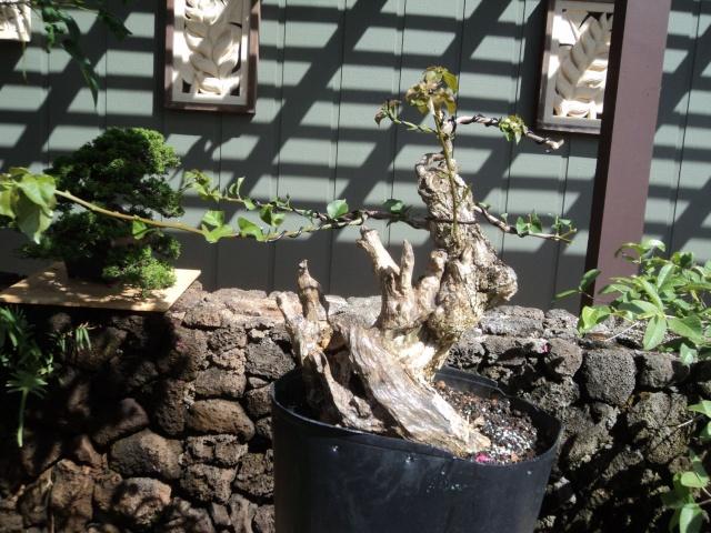 old bougainvillea stump Dsc05310