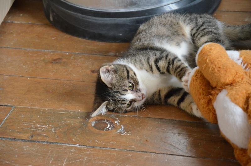 Tagada - adorable minette tigrée et blanche (80) Dsc_8913