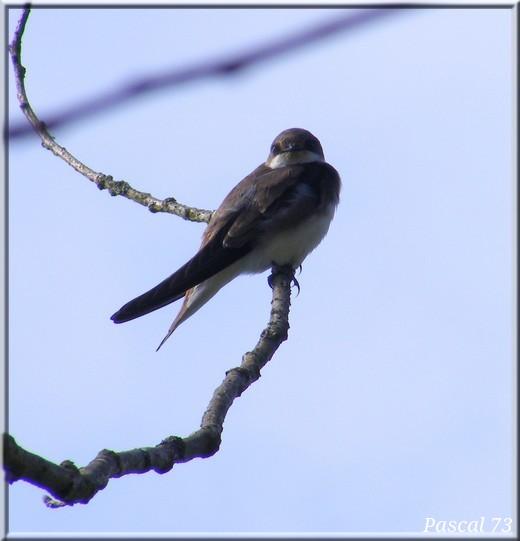 Free BIRD ! Hirond10
