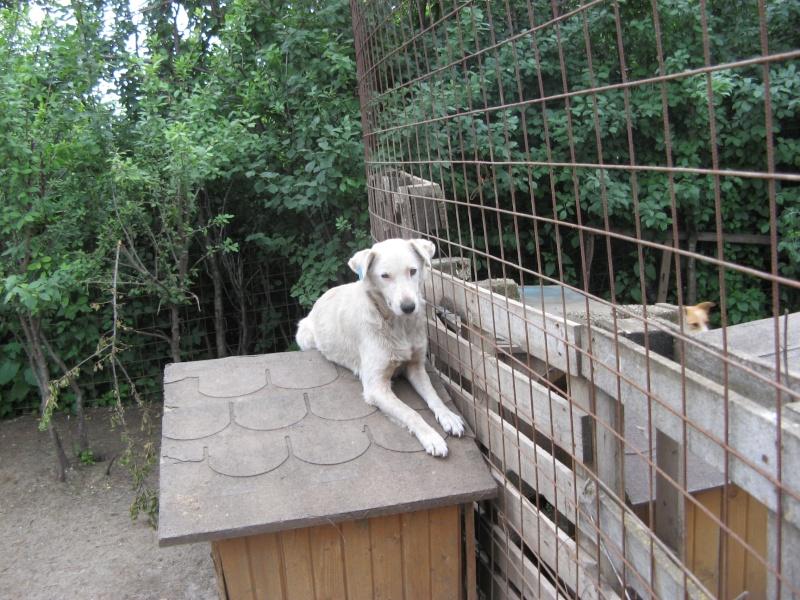 DULCE - Magnifique femelle Blanche - née en 2009 - Parrainée par Samie -SOS-FB-R-SC-  Pictu347