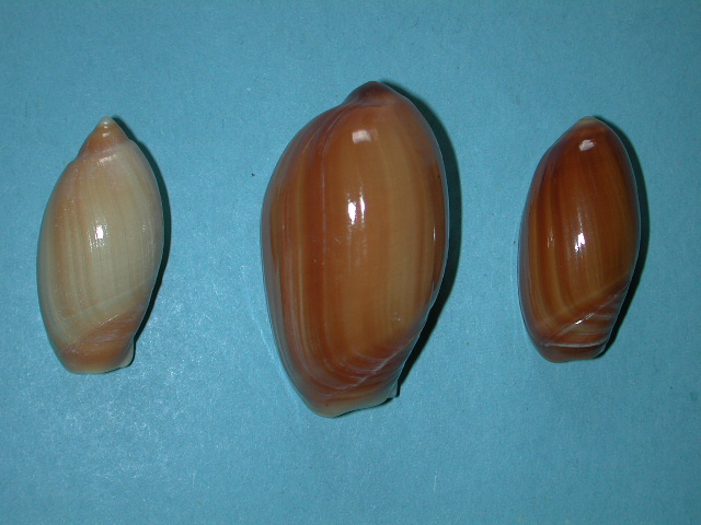 Anolacia mauritiana - (G. B. Sowerby I, 1830) Dscn4511