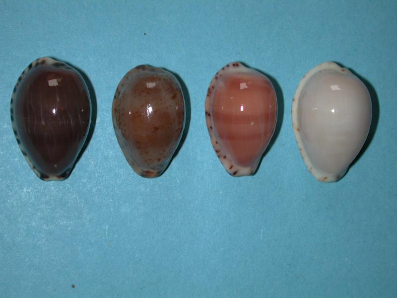 Notocypraea declivis dennyorum - Lorenz & Morrison, 2013 Notocy10